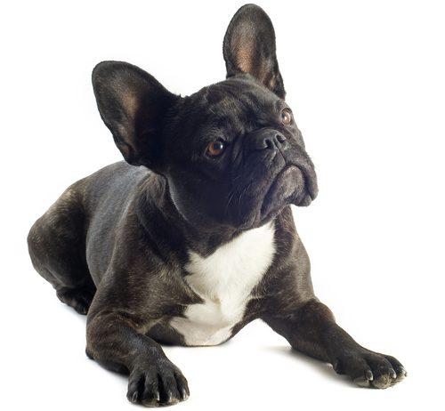 フレンチブルの成犬の画像