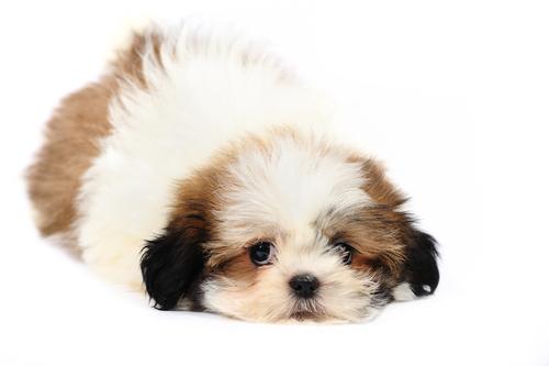 シーズーの子犬の画像
